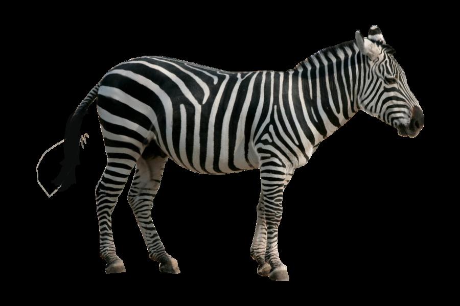 done zebra pre cut by buckaroo stock-d5c0uky