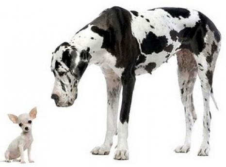 Great Dane and Chihuahua small